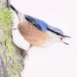 Nuthatch fine art print