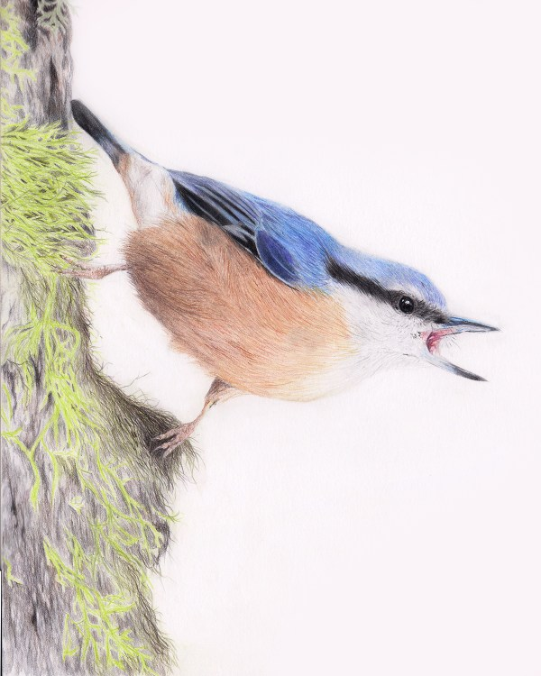 nuthatch drawing