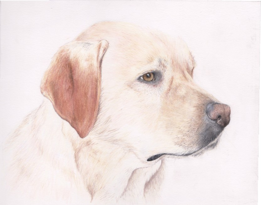 progress photos of the golden labrador dog portrait