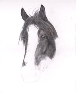 shire horse portrait in progress 3