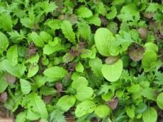 Asia Salat im Frühjahr