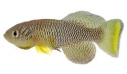 非洲鱂魚(African turquoise killifish),來源:Wiki