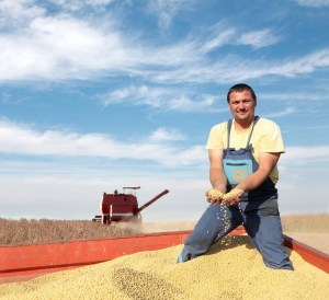 13988049 - harvesting of soy bean field with combine