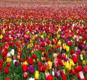 Tulips - GeneralLeadership.com