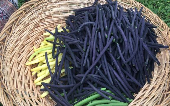 La fin des haricots …. Fête du jardinier Amateur à Thiais les 16 et 17 septembre 2017