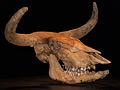 Skull_of_aurochs