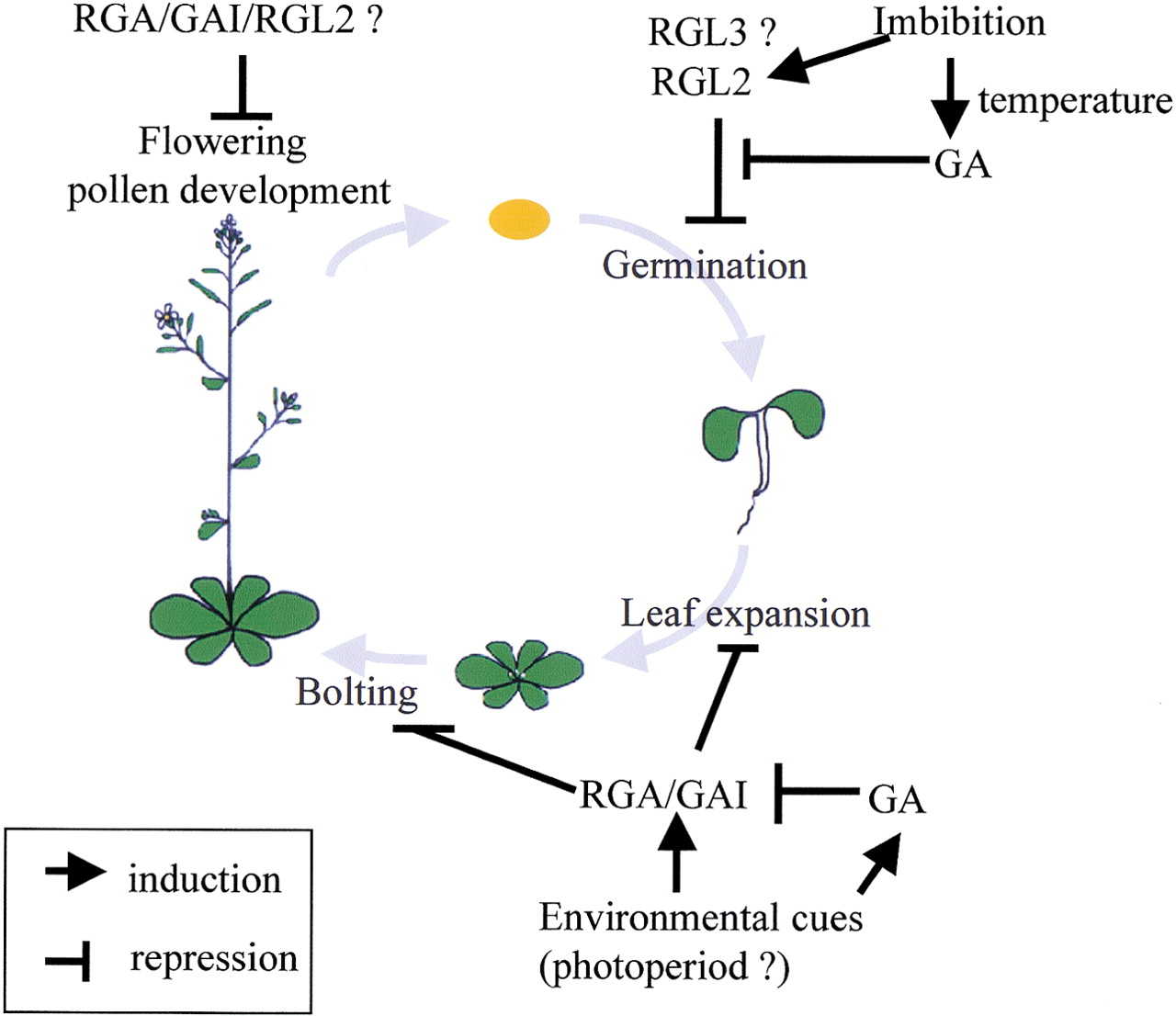 Gibberellin Regulates Arabidopsis Seed Germination Via