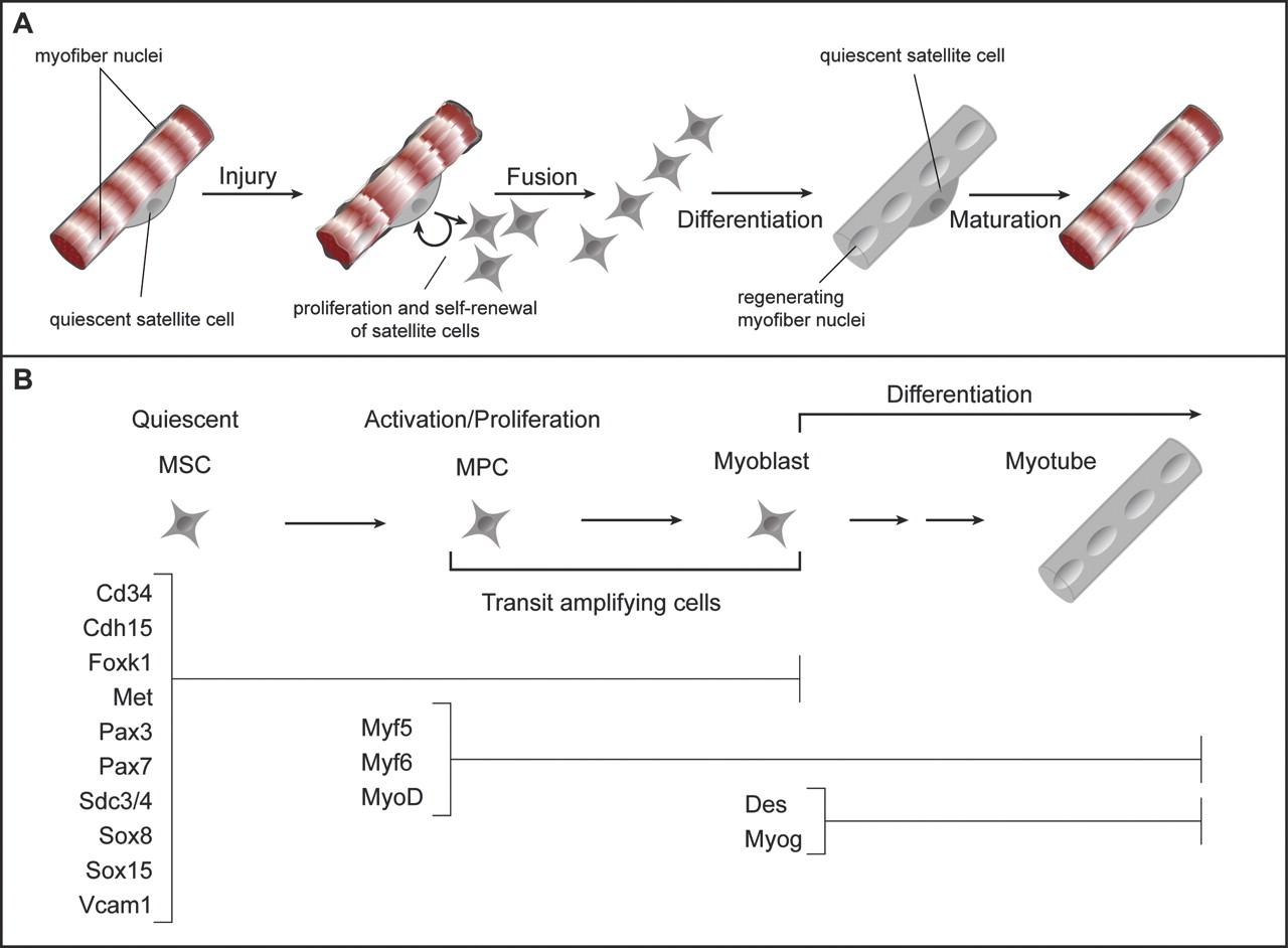 Muscle Stem Cells In Development Regeneration And Disease