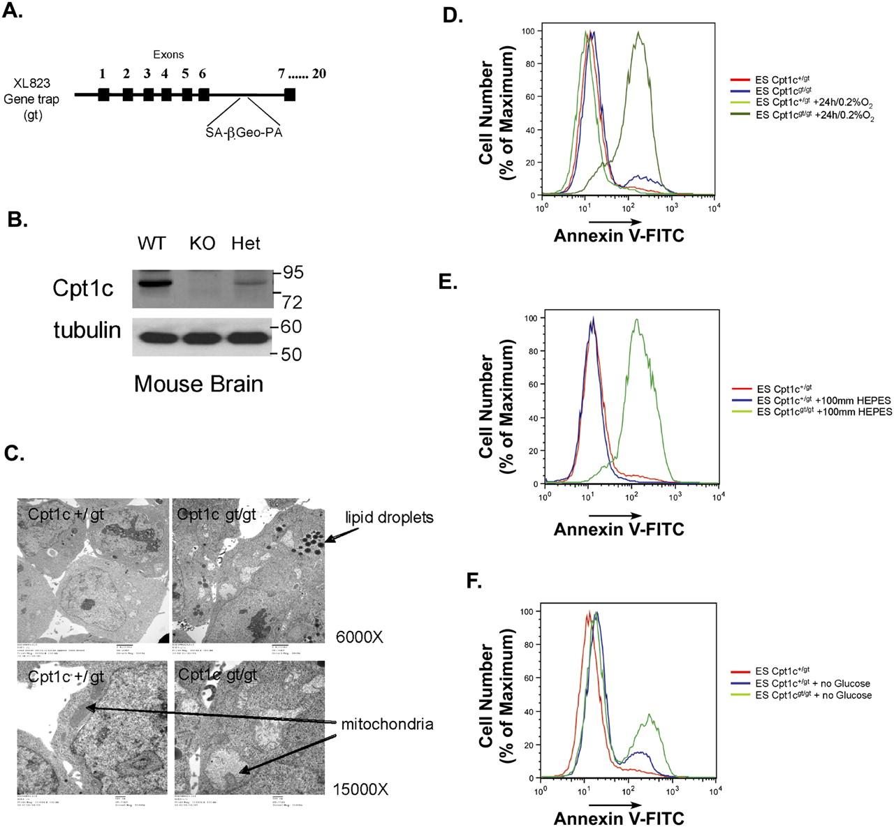 Carnitine Palmitoyltransferase 1c Promotes Cell Survival