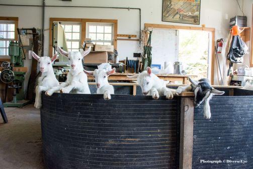 Goats Copyright