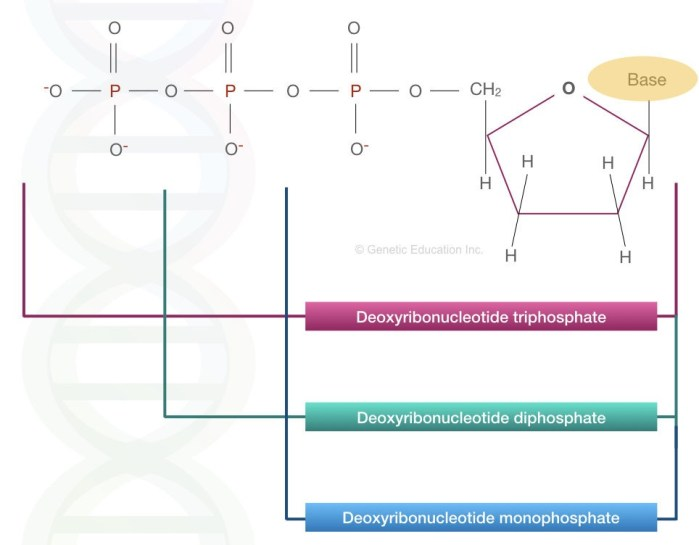 The image shows the deoxynucleotide triphosphate, diphosphate and monophosphate.