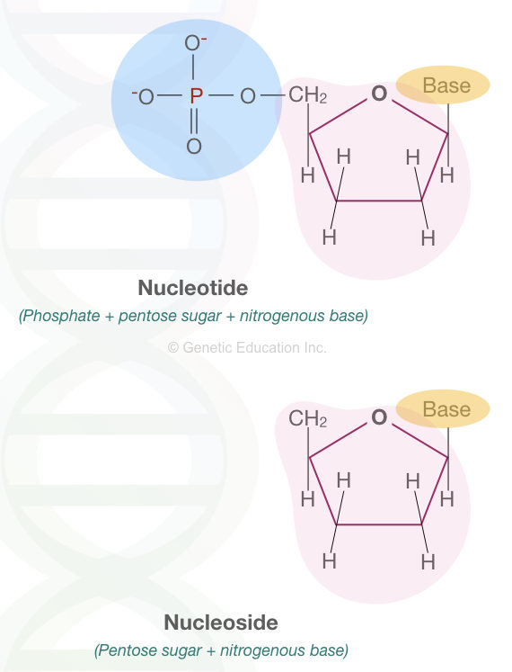 The structure of nucleotide and nucleoside.