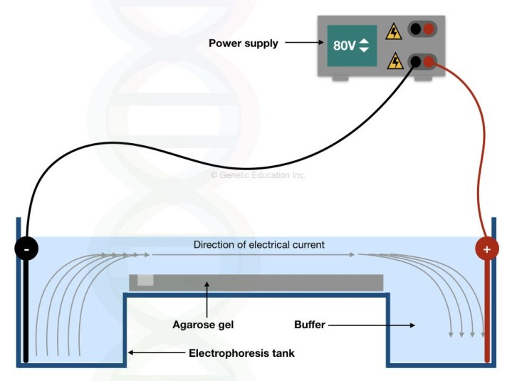Graphical representation of the electrophoresis apparatus.