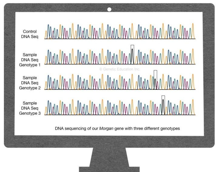 What is a genotype, genotype frequency and genotyping?