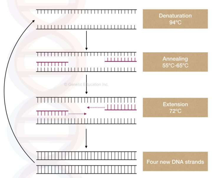 What are the properties of PCR (template) DNA?