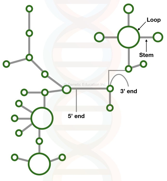RNA: structure and function