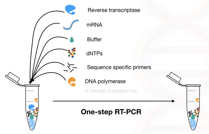 Reverse transcription PCR: Principle, Procedure, Application