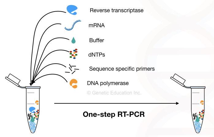 Reverse transcription PCR: Principle, Procedure, Applications, Advantages and Disadvantages