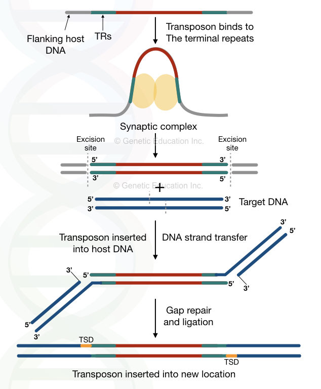 Step wise explanation of entire process a non-replicative transposition.