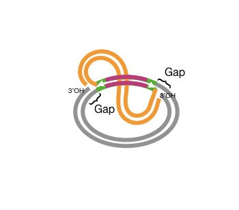 Third step of the replication strand transfer mechanism of transposition.