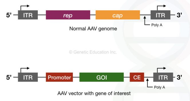 The genome of AAV virus with rep and cap gene and inverted/long terminal repeats. Also the AAV vector with the gene of interest and promoter region.