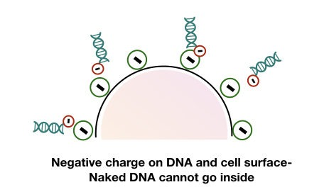 The negatively charged cell surface does not allow naked DNA