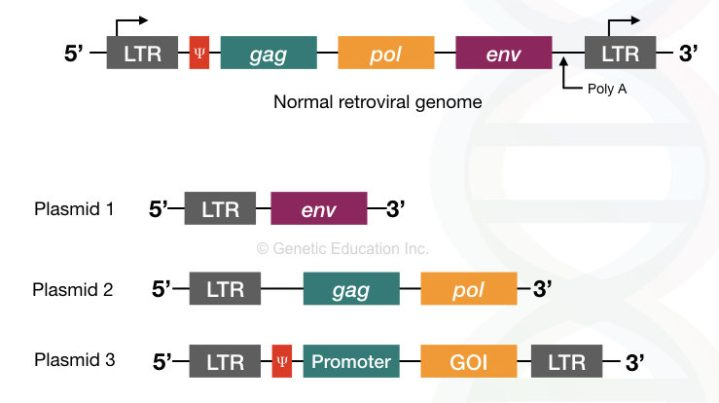 The genome of the retrovirus with gag, pol and env gene and the three plasmid constructed from it for the gene therapy.