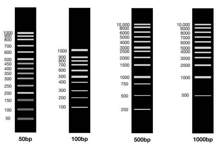 The different size DNA ladders of 50bp, 100bp, 500bp and 1000bp.