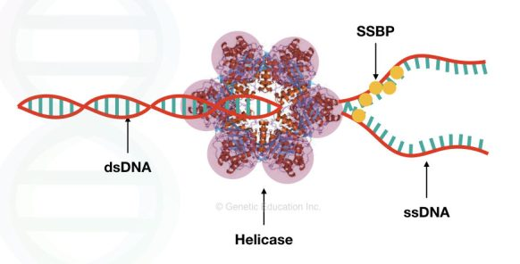 The mechanism of action of helicase