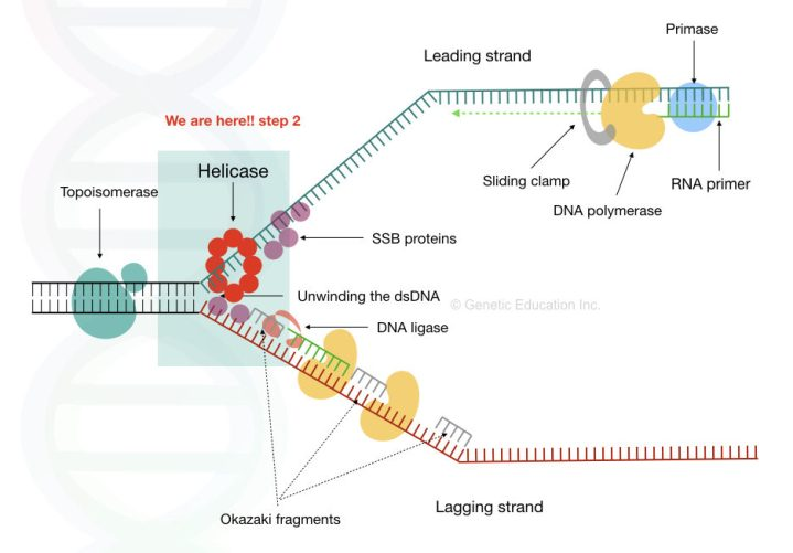 The entire mechanism of DNA replication.