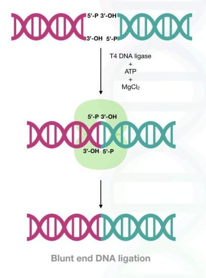 The mechanism of blunt end DNA ligation