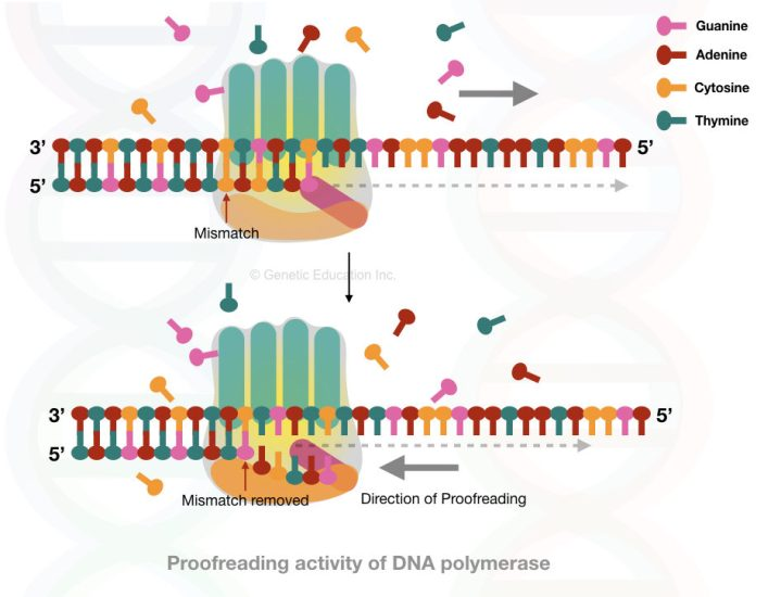 The exonuclease activity of DNA polymerase