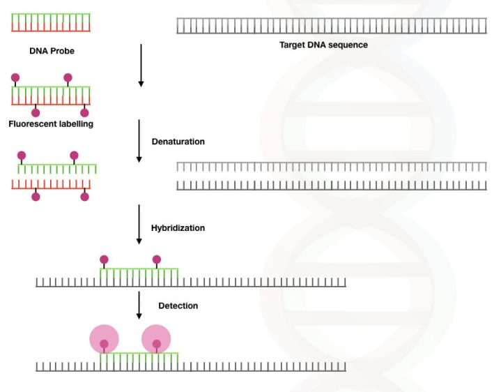 Illustration of the denaturation, hybridization and detection process of fluorescence in situ hybridization.