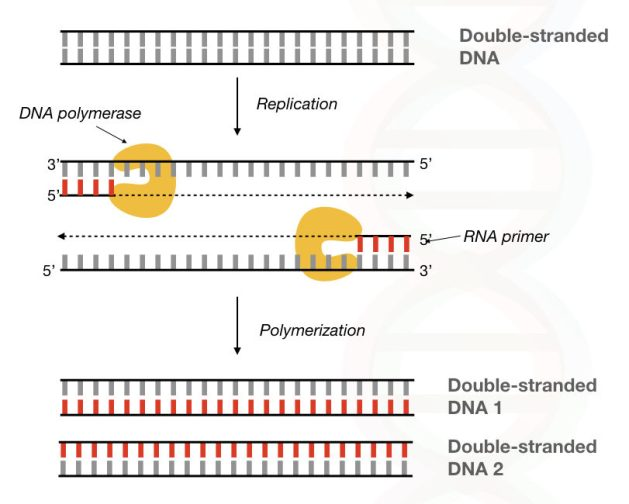 Graphical illustration of the process of DNA synthesises using the DNA polymerase and primer.