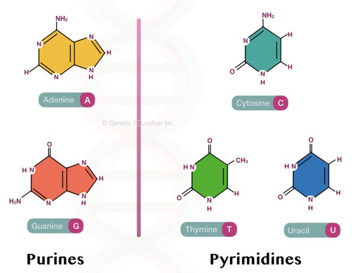 Purine and pyrimidine bases of DNA and RNA.