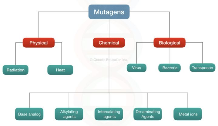Classification of mutagens: physical, chemical and biological agents.