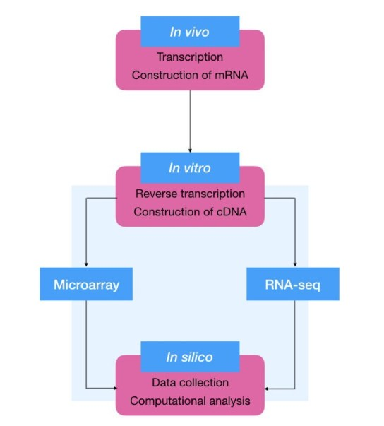 The process of transcriptomics analysis: in vivo mRNA synthesis, in vitro cDNA construction and in silico data analysis.