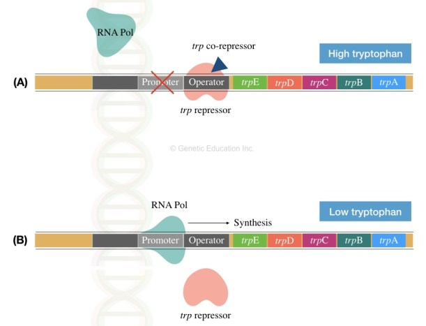 The trp operon and various genes of it.