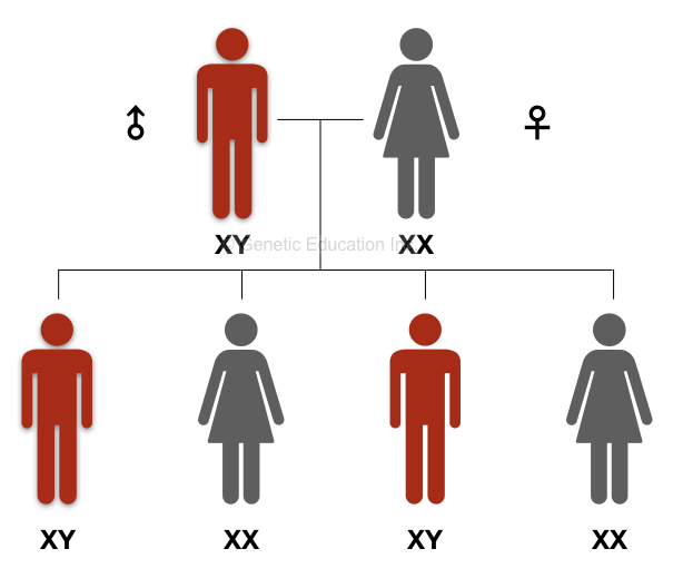 The inheritance pattern of the Y chromosome and related genes.
