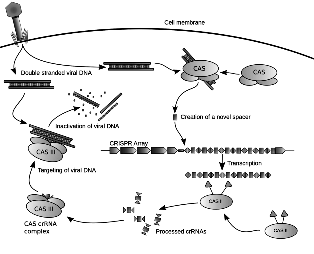 Genetic Engineering Diagram Insulin