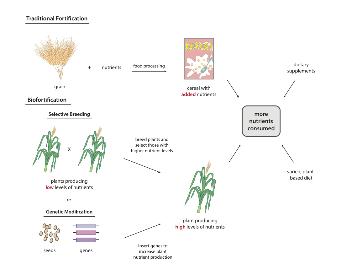 Can Golden Rice Other Nutritionally Enhanced Crops