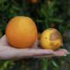 USDA expects quick approval for genetically engineered virus to combat citrus greening disease in Florida