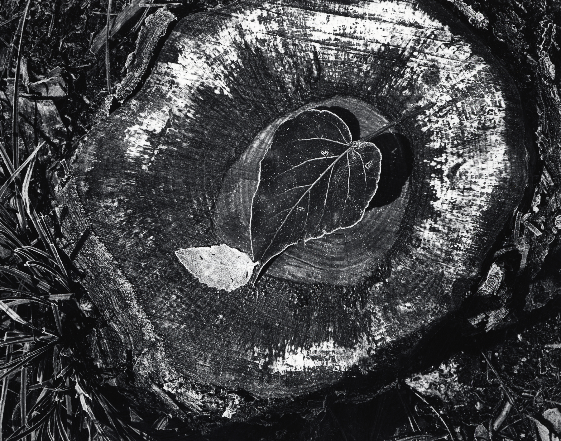 Ansel Adams, Leaves, Frost, Stump, October Morning, Yosemite National Park, c. 1931; gelatin silver print; 9 1/8 x 11 11/16 in. (23.2 x 29.7 cm); Collection of the Center for Creative Photography, University of Arizona; © 2009 The Ansel Adams Publishing Rights Trust