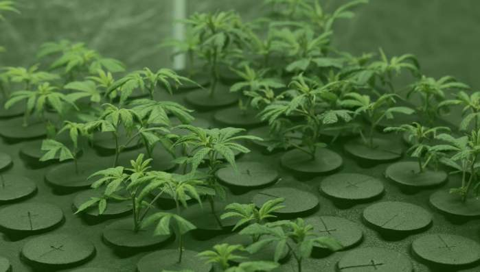cannabis plants for retailers