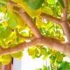 金のなる木が凍傷になってしまったら?症状や復活方法を詳しく伝授!