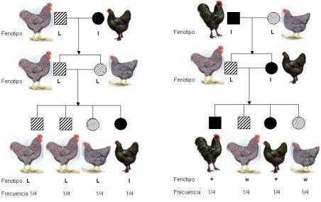 cruce-con-ligamiento-al-sexo-macho-liso-hembra-barrada-mendelismo-complejo
