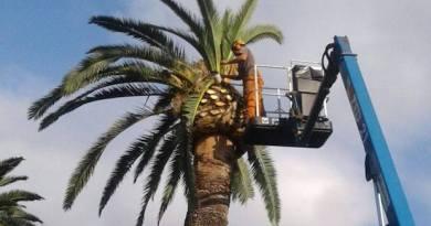 Punteruolo rosso, Aster costretta ad abbattere una palma a Villa Grimaldi, nei parchi di Nervi