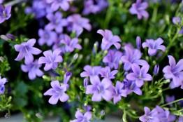 fiori (27)