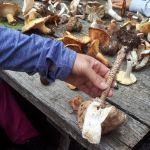 Passeggiata col micologo per conoscere i funghi estivi del Beigua