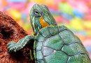 Tartarughe acquatiche, vanno denunciate entro agosto. Abbandonate, mettono a rischio la biodiversità